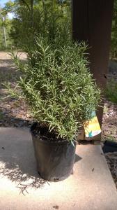 New Rosemary